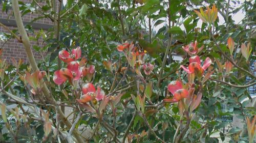 花水木赤4.21-6