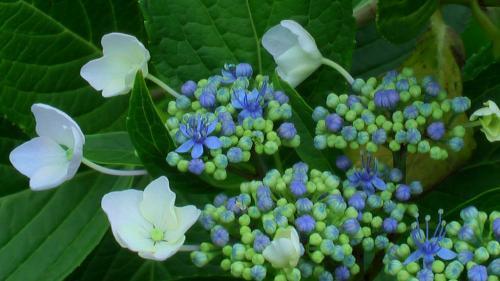 柳田額紫陽花