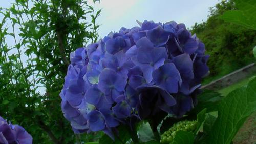 柳田道紫陽花
