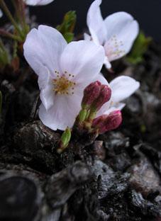 201042八雲桜