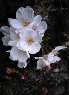2010八雲桜2