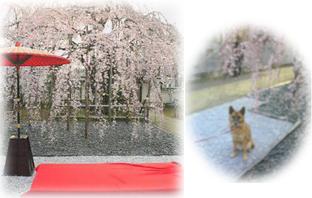 しだれ桜だワン!