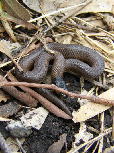 Little Whip Snake