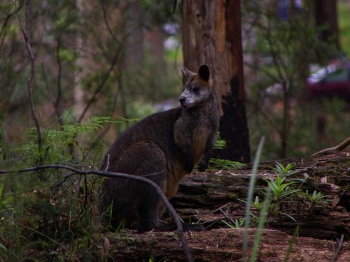 swamp wallaby Wallabia bicolor