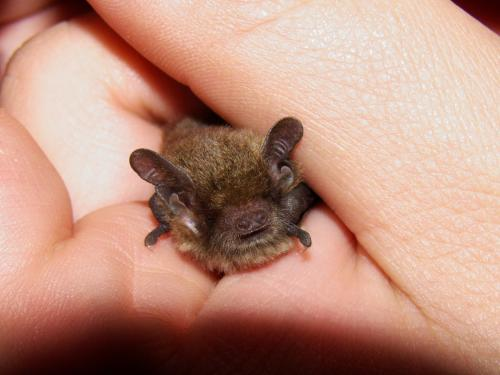 Little Forest Bat Vespadelus vulturnus