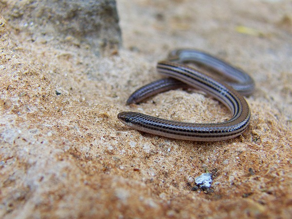 シマヒレアシヤモリ Lined worm lizard Aprasia striolata