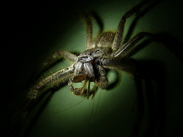 Hustman Spider Holconia sp