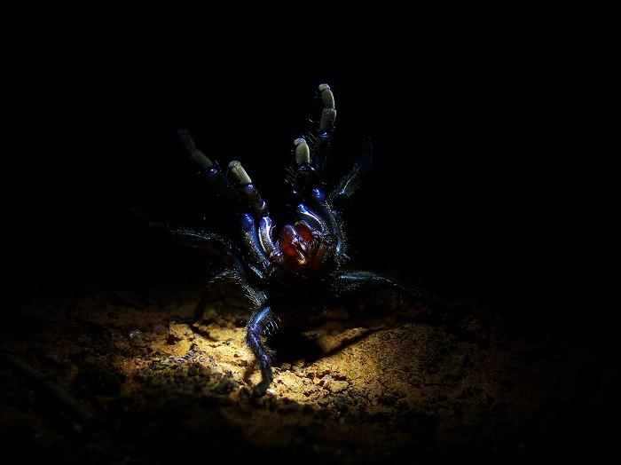 トタテグモの一種 Trap-door spider Aganippe sp