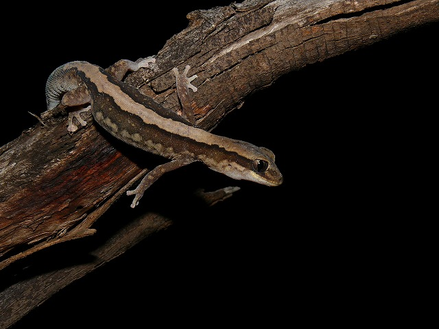 Eastern Stone Gecko Diplodactylus vittaus