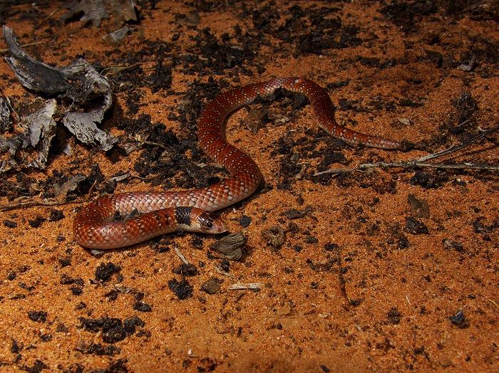 オーストラリアサンゴヘビ Australian Coral Snake Brachyurophis australis