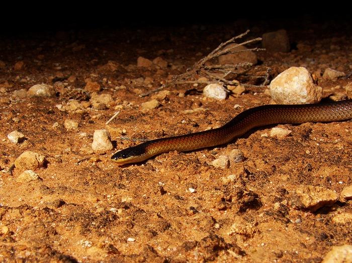 Mitchell's Short-tailed Snake Parasuta nigriceps
