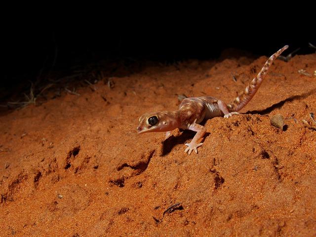 クチバシヤモリ Beaked Gecko Rhynchoedura ornata