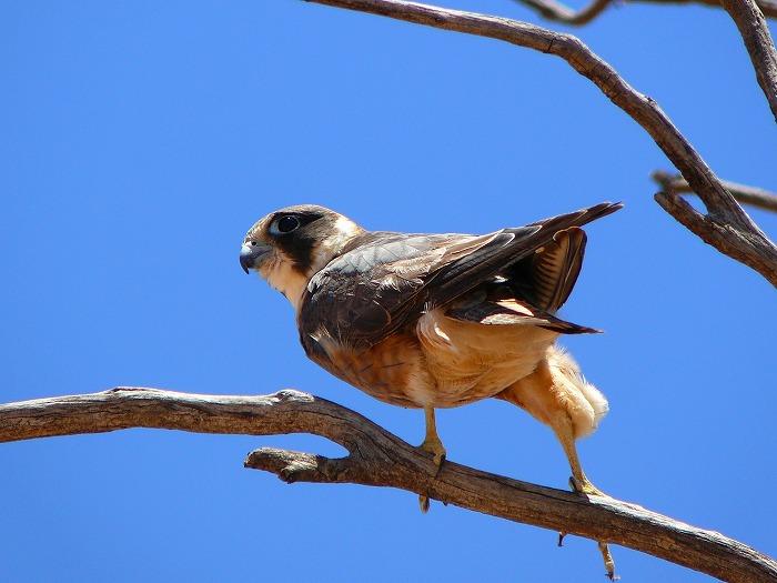 オーストラリアチゴハヤブサ Australian Hobby Falco longipennis
