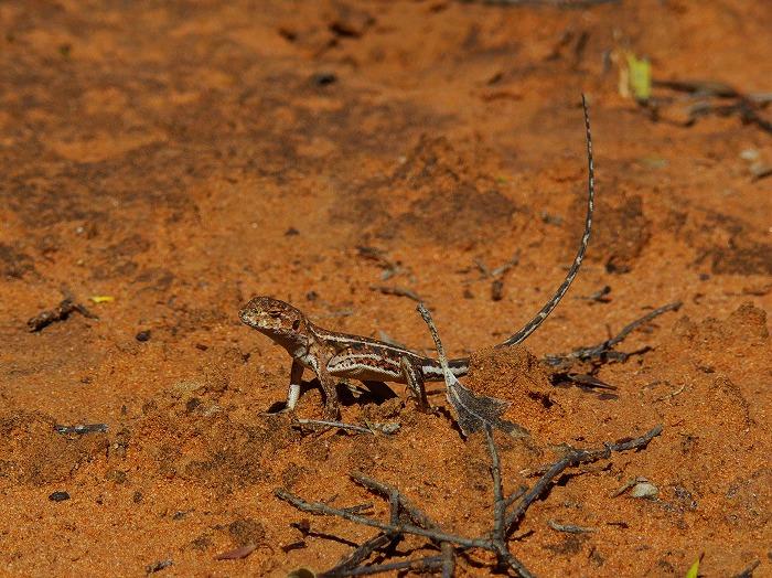 マリードラゴン Mallee Dragon Ctenophorus fordi