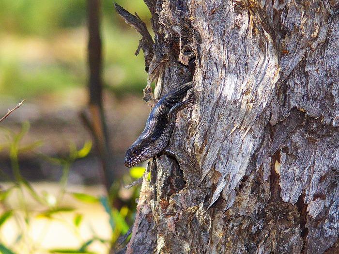 ストリオラータイワトカゲ Egernia striolata