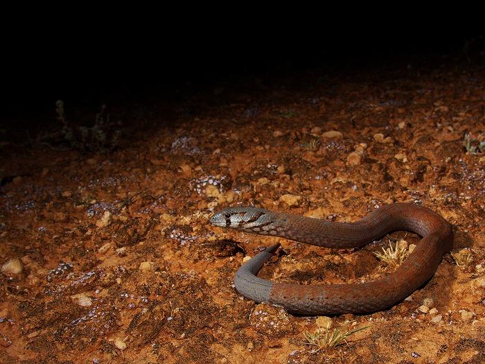 Common Scaly-foot Pygopus lepidopodus