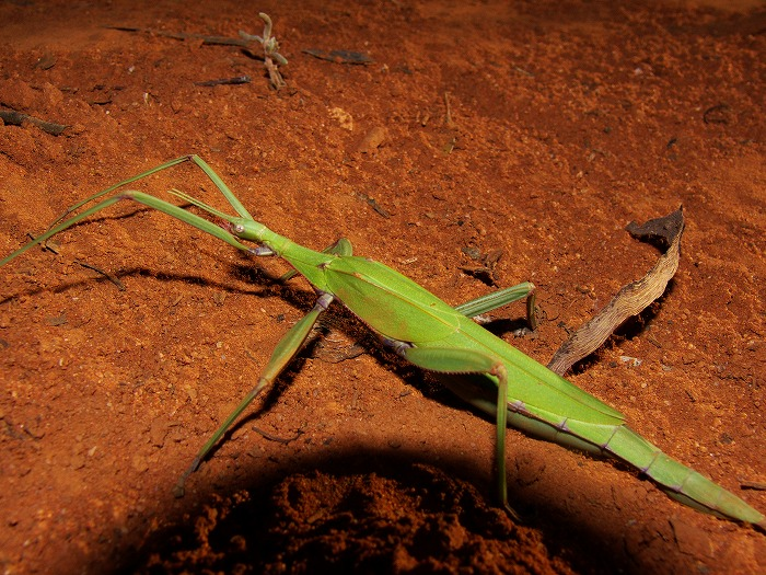 Red-Shouldered Stick-insect Tropidoderus rhodomus