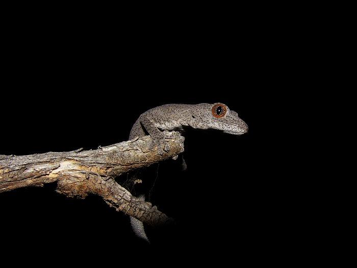 ミナミトゲオイシヤモリ Southern Spiny-tailed Gecko Strophurus intermedius