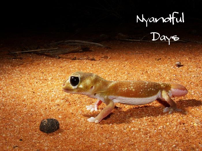 ナメハダタマオヤモリ (ノブテイルゲッコー・レビレビ) smooth knob-tailed gecko Nephrurus levis levis