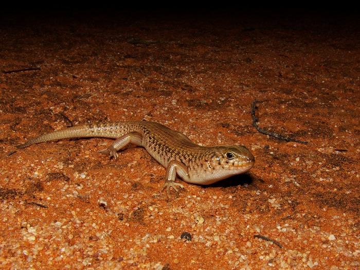Desert Skink Liopholis inornata