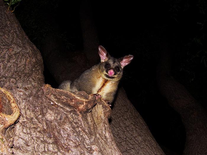 ブラシテイル ポッサム (フクロギツネ)Common Brushtail Possum Trichosurus vulpecula