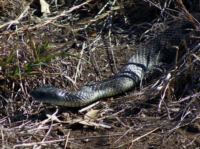 Tiger Snake Notochis scutatus