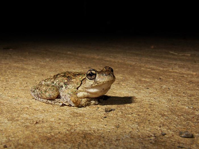 Peron's Tree Frog Litoria peroni