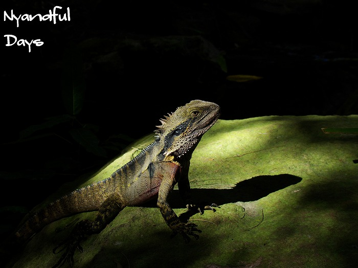 ヒガシウォータードラゴン Eastern Water Dragon Physignathus lesueurii lesueurii