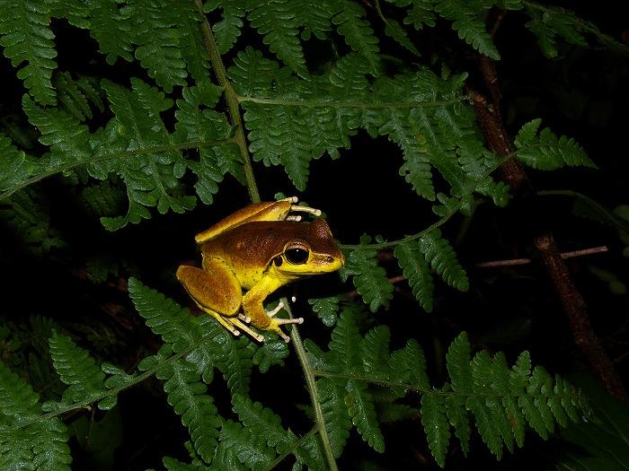 Wilcox's Frog Litoria wilcoxii