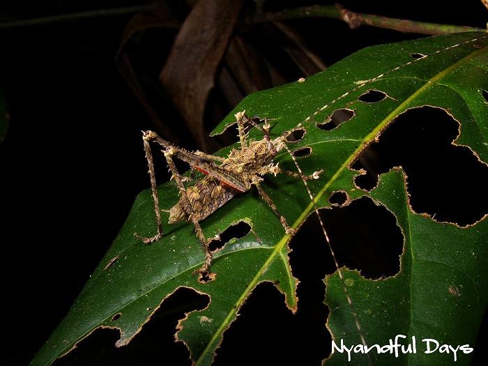 Phricta spinosa