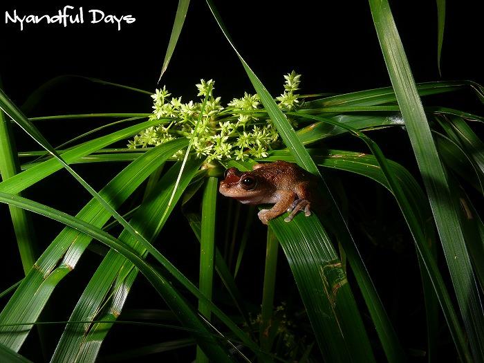 Common Mist Frog Litoria rheocola