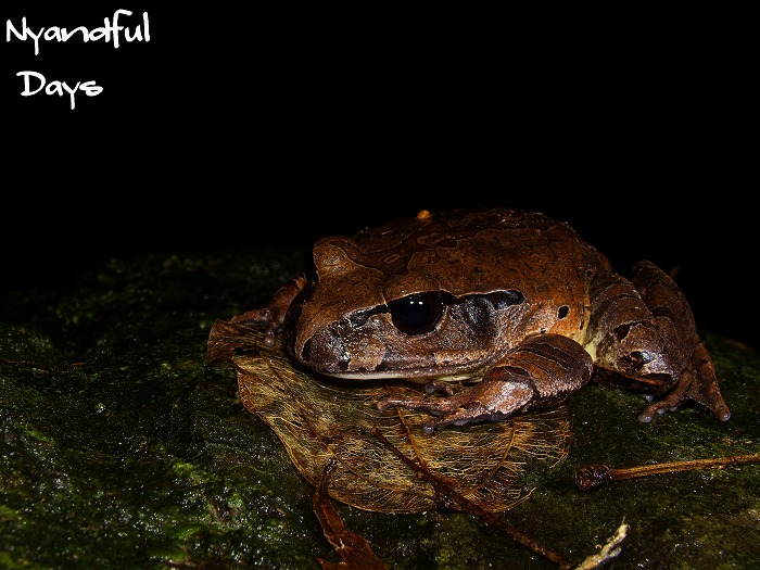 Northern Barred Frog Mixophyes schevilli