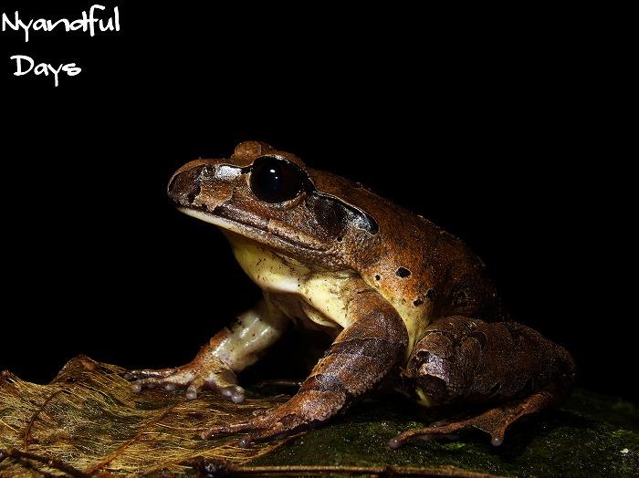 Northern Barred Frog Mixophyes schevilli