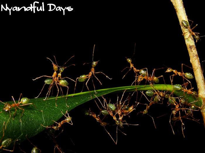 ツムギアリ Oecophylla smaragdina