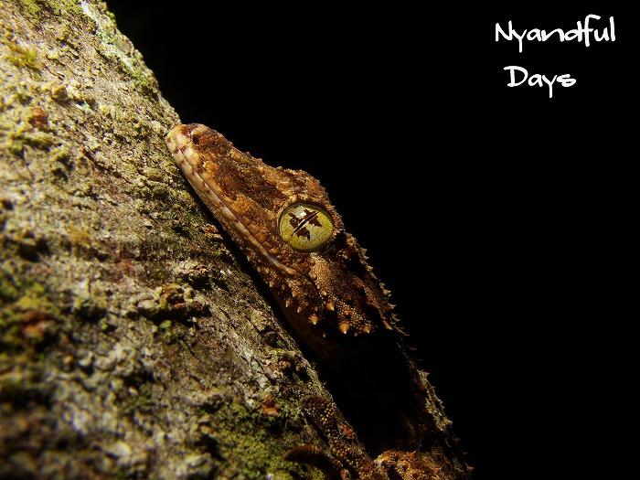 Northern Leaf-tail Gecko Saltuarius cornutus