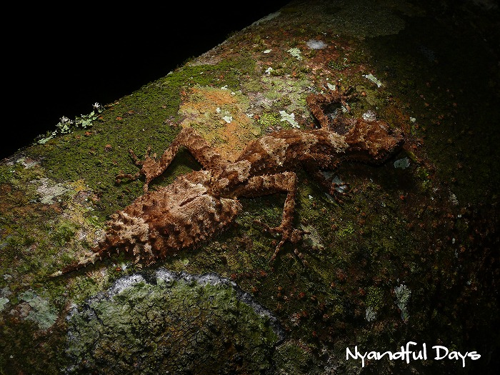 Northern Leaf-tail Gecko Saltuarius cornutus