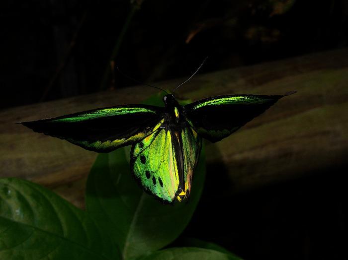 ユーフォリオントリバネ Ornithopera priamus euphorion