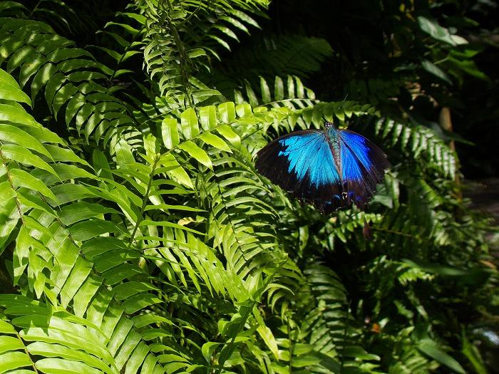 オオルリアゲハ Papilio ulysses