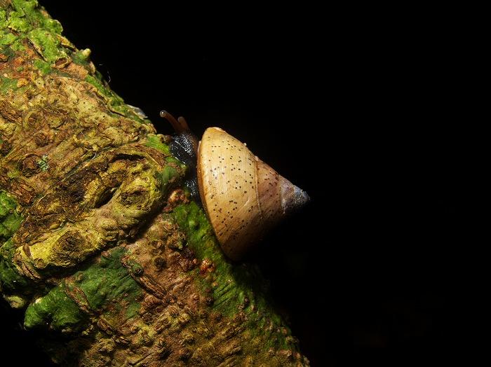 Rhynchotrochus macgillivrayi