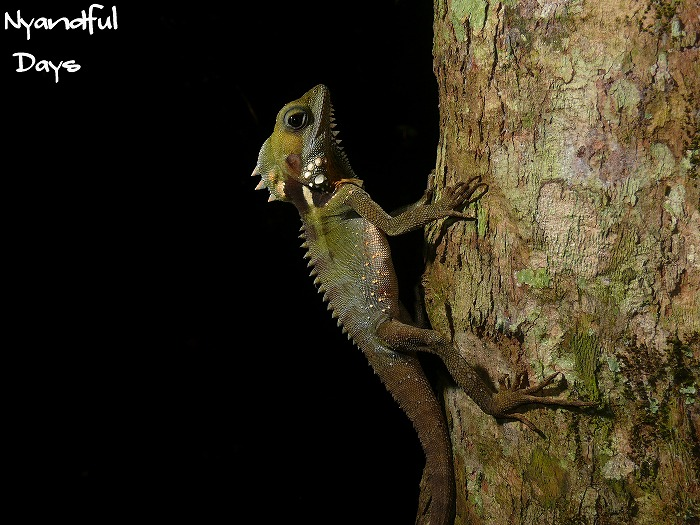 Boy'd Forest Dragon Hypsilurus boydii