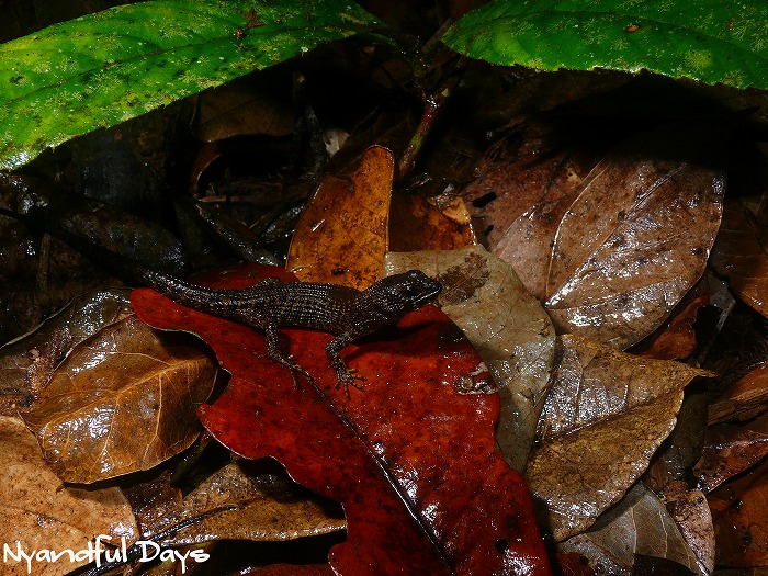 Prickly Forest Skink Gnypetoscincus queenslandiae