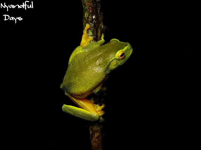 Dainty Tree Frog Litoria gracilenta