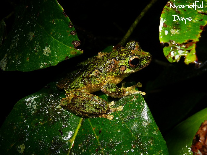 New Guinea Tree Frog Litoria genimaculata