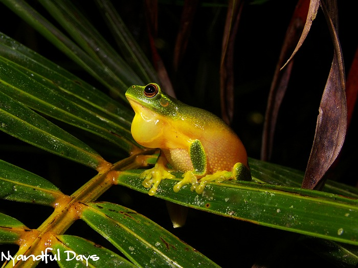 Dainty Treer Frog Litoria gracilenta