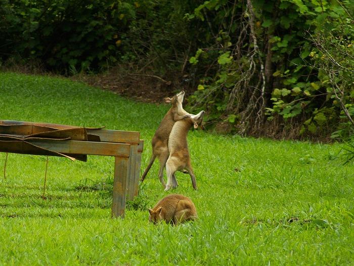 Agile Wallaby Macropus agilis jardinii