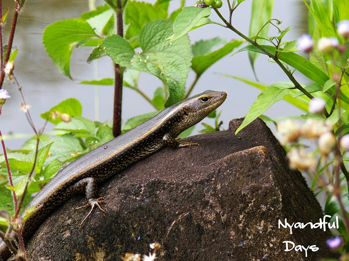 Eastern Water Skink Eulamprus quoyii
