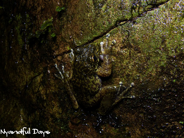 Waterfall Frog Litoria nannotis