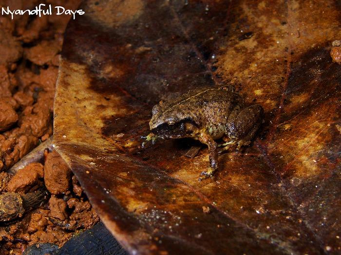 Robust Frog Austrochaperina robusta