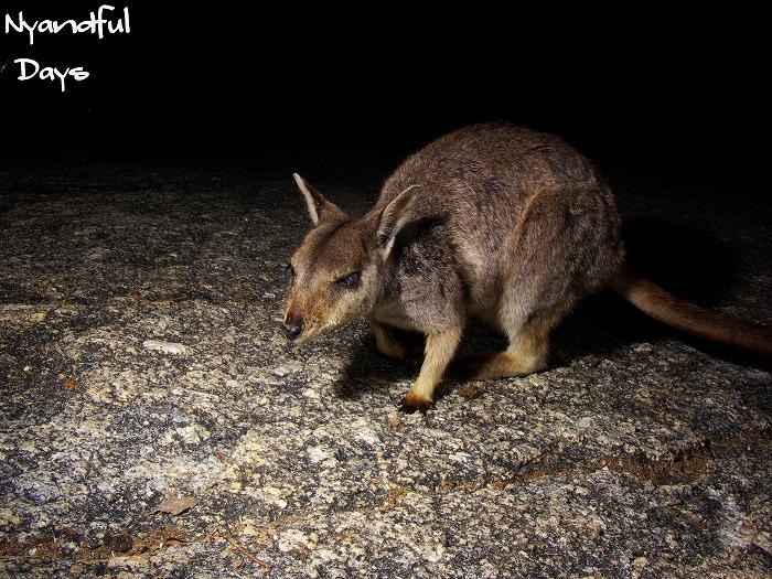 Mareeba Rock Wallaby Petrogale mareeba