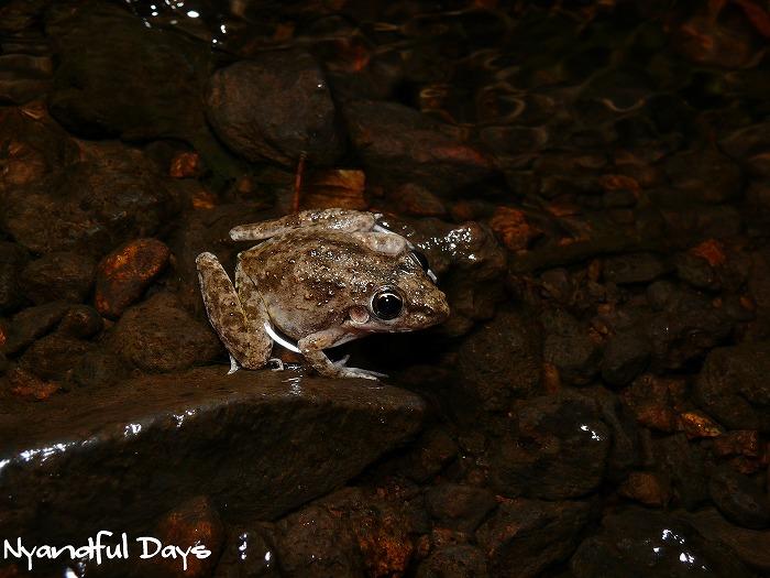 Bumpy Rocketfrog Litoria inermis